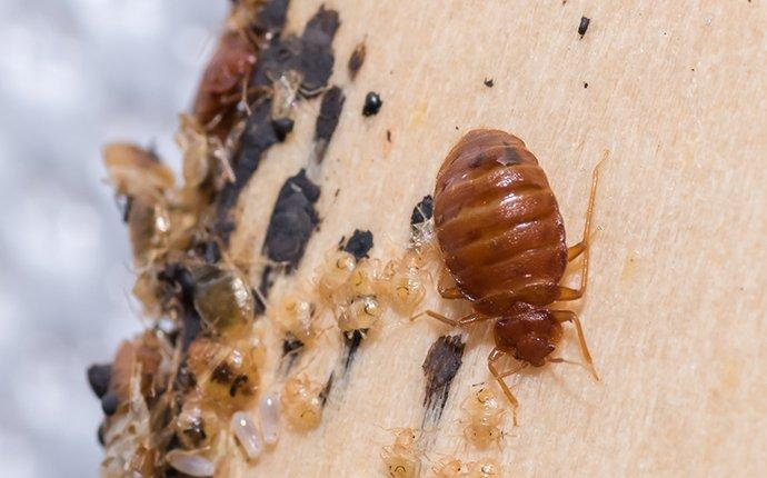 Bedbugs and Few Interesting Facts about Them