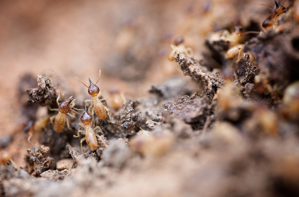 How to Get Rid of Termites for Good